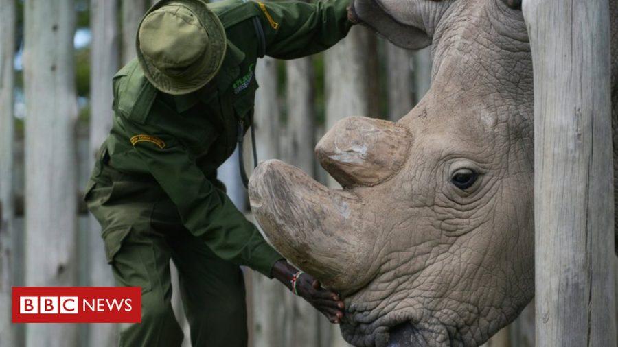 Sudan the northern white rhino, taken from BBC