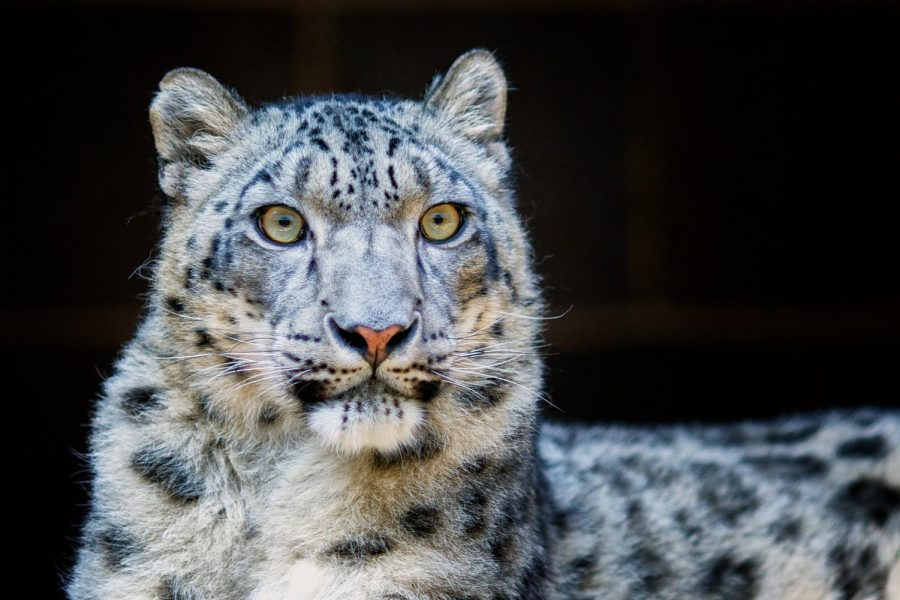snow-leopard-