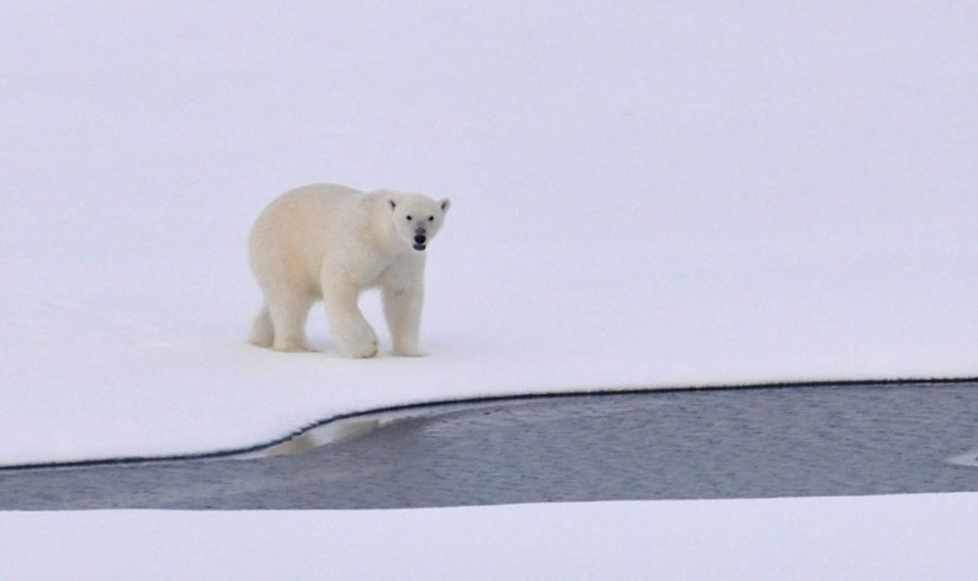 Polar Bears Don't Live in Antarctica: But Could They?
